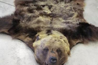 Meglepetés a vámhivatalban: szőnyeg helyett nyúzott medve bundája került elő egy csomagból